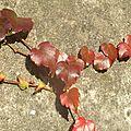 automne, la <b>vigne</b> <b>vierge</b>