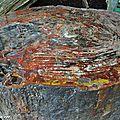 Tronc fossile silicifié d'Araucariacée