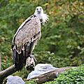 Parc animalier de Sainte-Croix - Vautour fauve