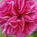 pin_rose1